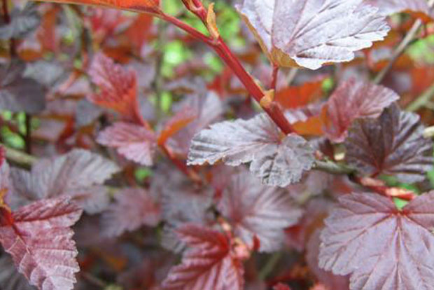PHYSOCARPUS opulifolius Lady in Red Tuilad