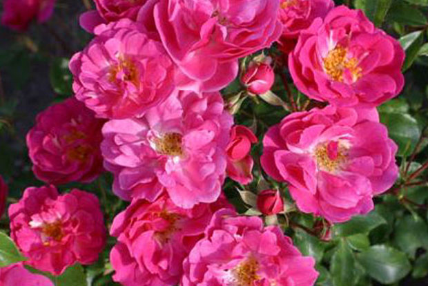 ROSIER Rekord® Pink Emely® Korselary