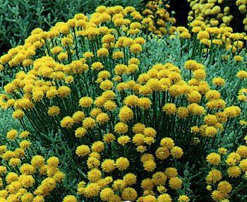 Plante Boule Jaune 28 Images Plantes 224 Fleurs Jaunes Plantes